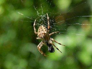 Araignées en France dans FAUNE FRANCAISE araignee-300x225
