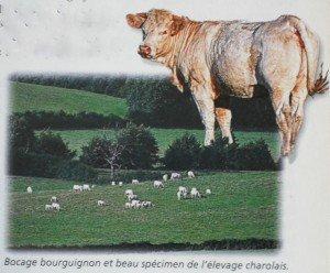 Les plateaux Bourguignons dans Bourgogne les-vaches-de-bourgogne-300x248