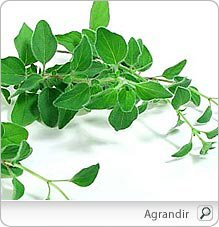 Des plantes tinctoriales dans FLORE FRANCAISE marjolaine_origan_nu-1