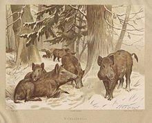 Loups et Sangliers des bois au 19ème siècle dans Côte d'Or sanglier