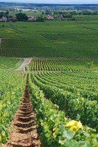 vignes-201x300 dans Bourgogne