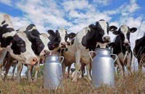 Les Fromages en Jura dans Jura vaches-300x195