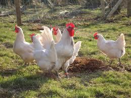 poulet dans Les spécialités