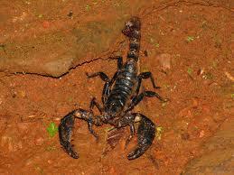 LE SCORPION LANGUEDOCIEN dans FAUNE FRANCAISE scorpion