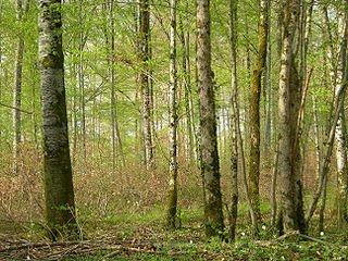 La forêt de Chateaubriand dans POESIE FRANCAISE 320px-foret