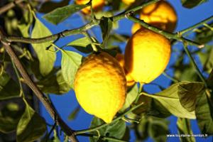 Sous le soleil de Menton… Au Pays du Citron. dans FLORE FRANCAISE citron_menton-300x200
