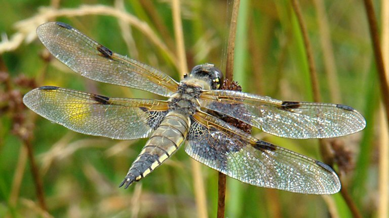 a7eab34248df7 Demoiselles à 4 ailes dans FAUNE FRANCAISE libellule 4taches f2-300x167