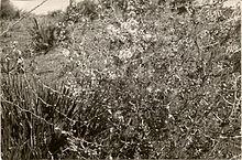Des Asperges aux sous-bois dans FLORE FRANCAISE 220px-oued_mellah_asparagus_albus_st65