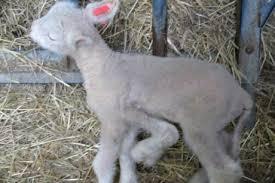 L'affaire du mouton à 5 pattes dans FAUNE FRANCAISE telechargement-5