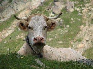 vache-Belledonne1-300x224