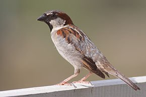 290px-House_Sparrow_mar08