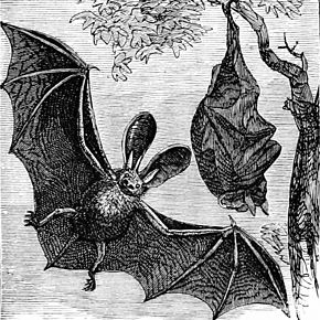 PSM_V07_D667_Long_eared_english_bat