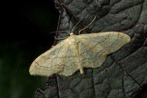 Papillon_de_nuit