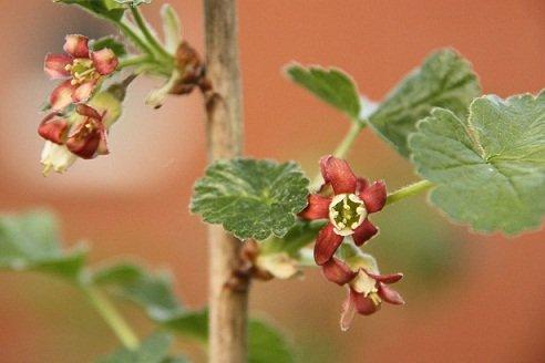 Caseille_jostaberry_flowers