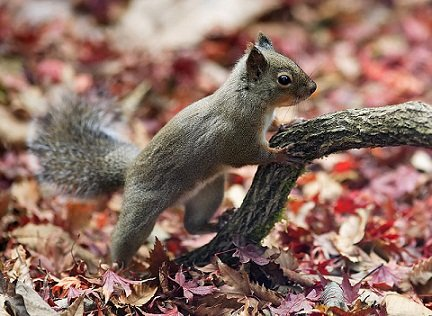 800px-Japanese_Squirrel_edit2
